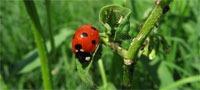 ladybug_aphids